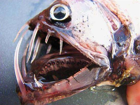viperfish 4