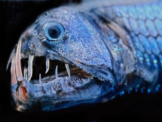 viperfish deadly deep predator 4