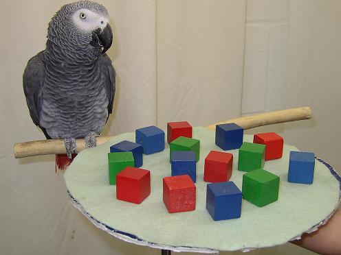 Alex smartest parrot 1