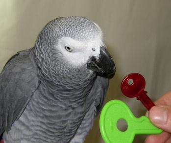 Alex smartest parrot 2