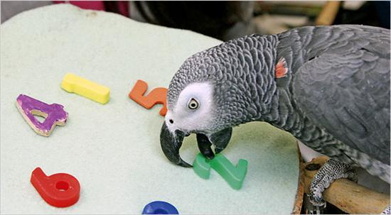 Alex smartest parrot