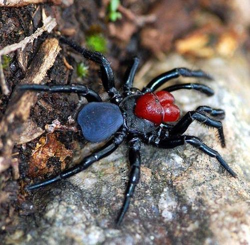 Mouse Spider Brazilian Wandering Spider   The Most Poisonous In The World as seen on CoolWeirdo.com
