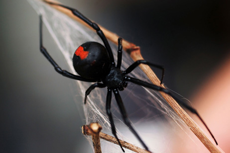 Redback Spider Brazilian Wandering Spider   The Most Poisonous In The World as seen on CoolWeirdo.com