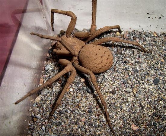 Six Eyed Sand Spider Brazilian Wandering Spider   The Most Poisonous In The World as seen on CoolWeirdo.com