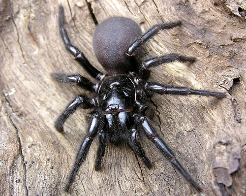 Sydney Funnel Web Brazilian Wandering Spider   The Most Poisonous In The World as seen on CoolWeirdo.com