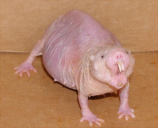 The Naked Mole Rat Ugliest Animal On Earth! Griffins Leaf nosed Bat as seen on CoolWeirdo.com
