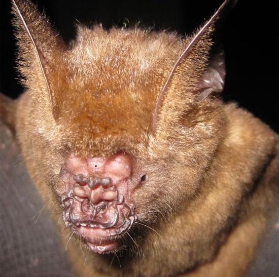 Ugliest Animal On Earth! Griffin's Leaf-nosed Bat