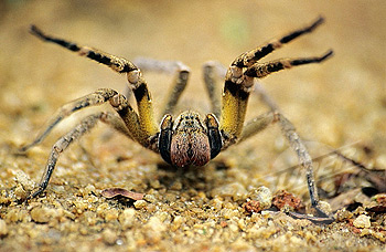 brazilian wandering spider2 Brazilian Wandering Spider   The Most Poisonous In The World as seen on CoolWeirdo.com