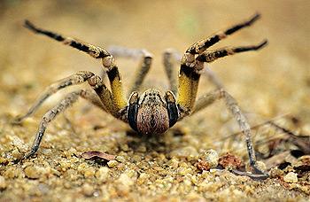 brazilian wandering spider2