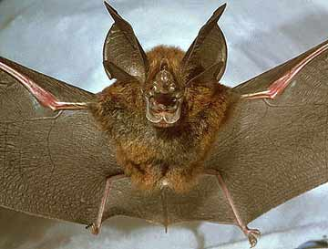 horseshoe bat Ugliest Animal On Earth! Griffins Leaf nosed Bat as seen on CoolWeirdo.com