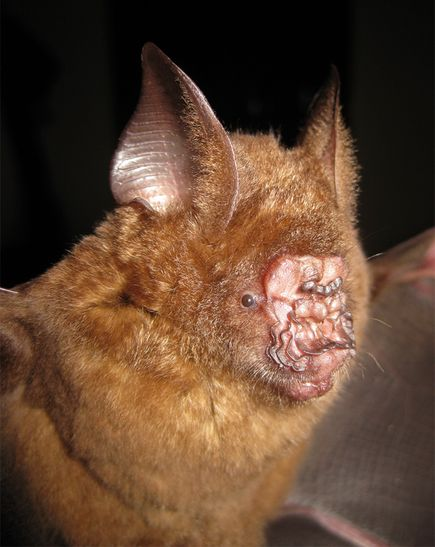 new leaf nosed bat discovered vietnam Ugliest Animal On Earth! Griffins Leaf nosed Bat as seen on CoolWeirdo.com