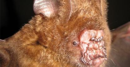 ugliest bat ever Ugliest Animal On Earth! Griffins Leaf nosed Bat as seen on CoolWeirdo.com