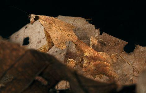 Dead-leaf mantis 2