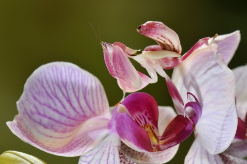 Flower mantis orchid