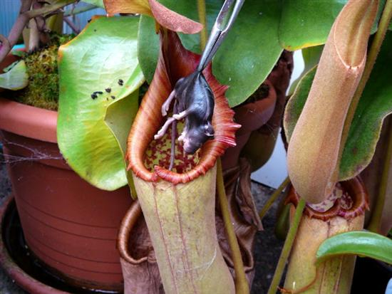 Nepenthes 2