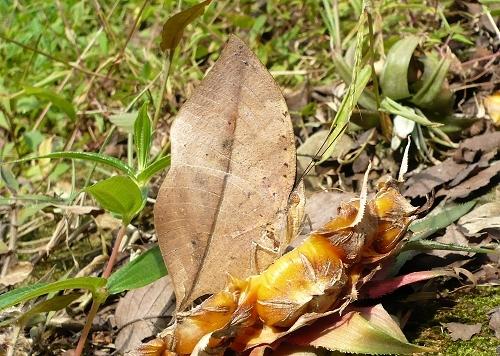 dead leaf butterfly 1