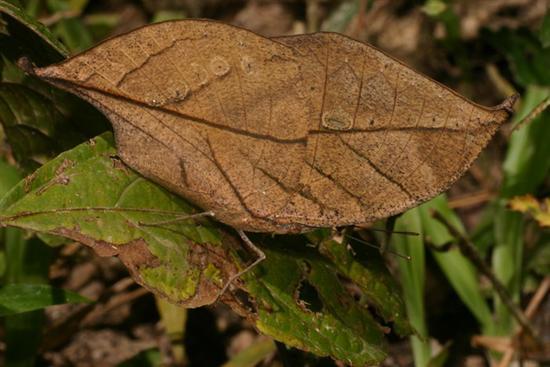 dead leaf butterfly 3