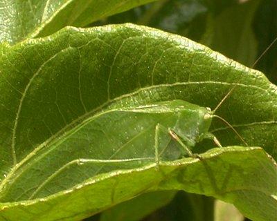 katydid-camouflaged-on-a-green-leaf