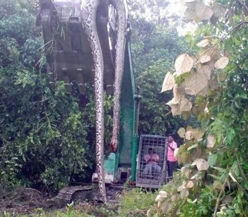 huge snake malaysia