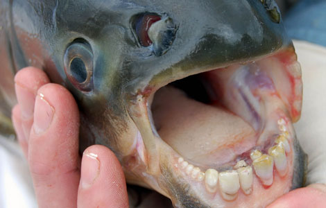 pacu-fish-with-human-teeth