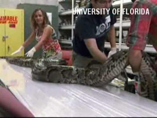 17 foot python everglades 1 Biggest Python 17 foot Found in Florida Everglades Pictures Seen on www.VyperLook.com