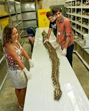 17 foot python everglades 2