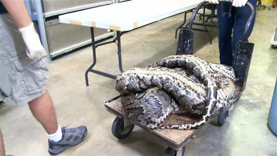 17 foot python everglades 3