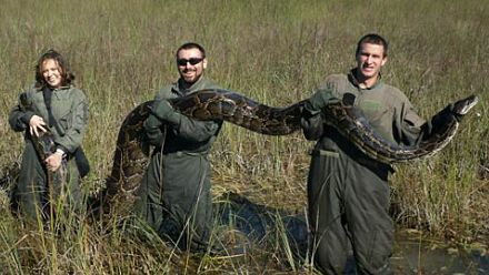 17 foot python everglades 4 Biggest Python 17 foot Found in Florida Everglades Pictures Seen on www.VyperLook.com
