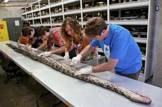 17 foot python everglades Biggest Python 17 foot Found in Florida Everglades Pictures Seen on www.VyperLook.com