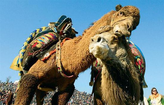 Camel wrestling 1