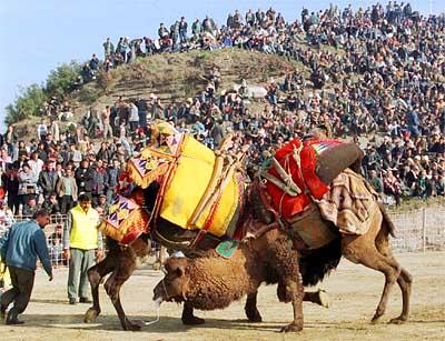 Camel wrestling 2
