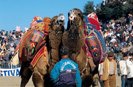Camel wrestling 3