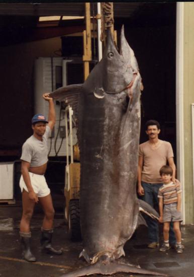 Μεγαλύτερο Marlin ποτέ αλιεύονται 1 Biggest Ψάρια ποτέ αλιεύονται Εικόνες Επίσκεψη στην www.VyperLook.com