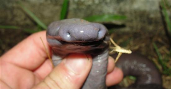 bizarre snake brazil 3