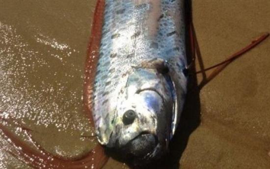 giant oarfish 1