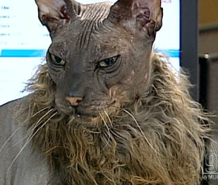 ugliest cat 1
