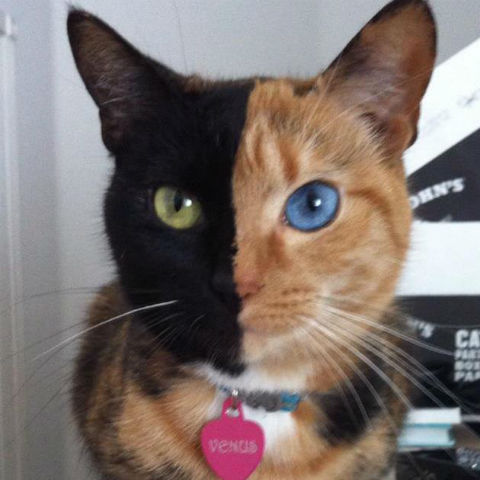 venus chimera two faced cat 2 Weirdest Cats as seen on CoolWeirdo.com