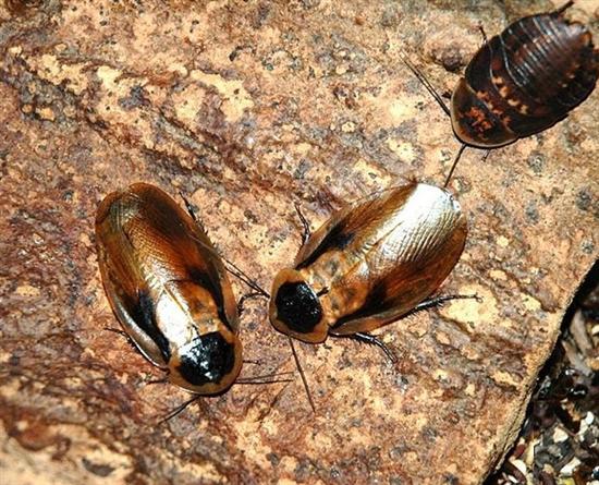 Cyborg Cockroach 1