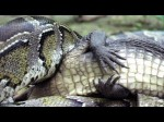 Python-eats-Alligator 1