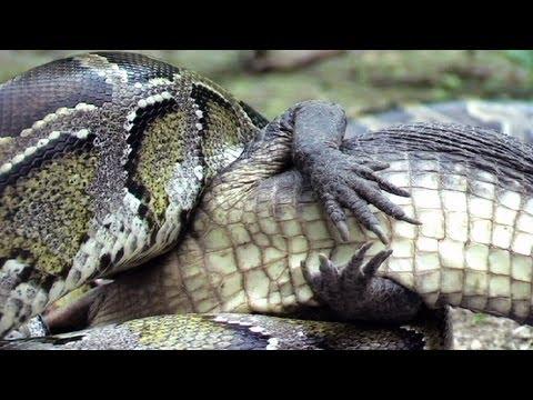 Python eats Alligator 1