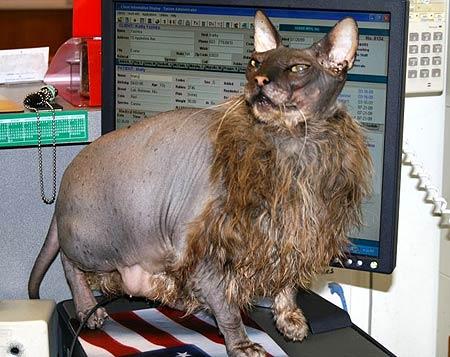 Worlds Ugliest Cat 2