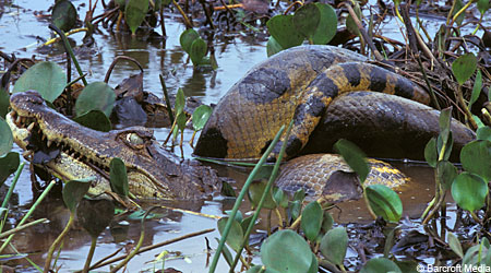 anaconda eats croc 2 Python Snake Eats Live Alligator Pictures Seen on www.VyperLook.com