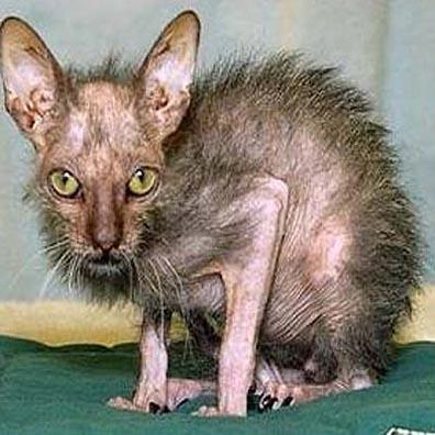 world s ugliest cat 1