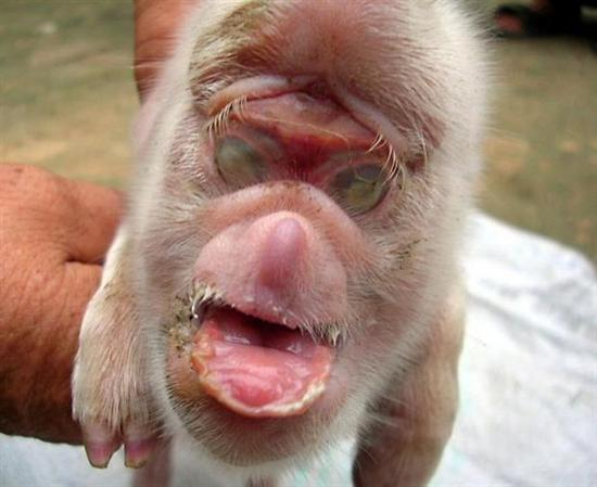 Pig With The Face Of A Monkey1