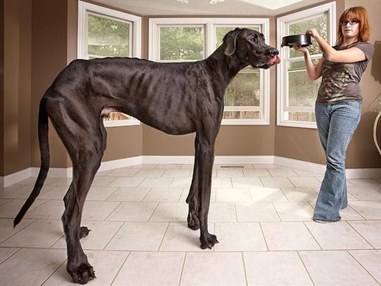 Worlds Tallest Dog 2