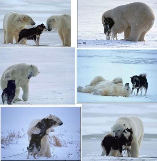 polar bear husky dog playing 1