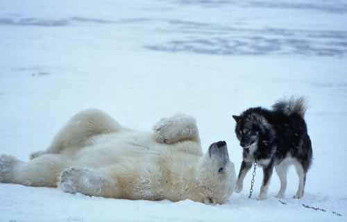 polar bear husky dog playing 2
