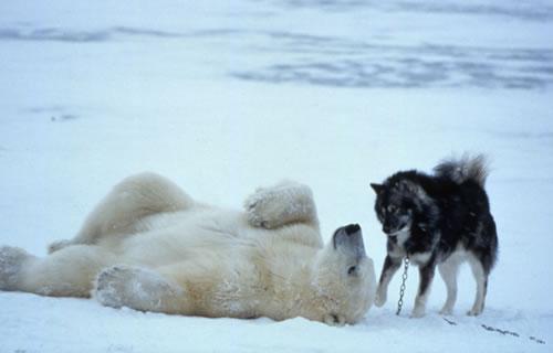 polar bear husky dog playing 2