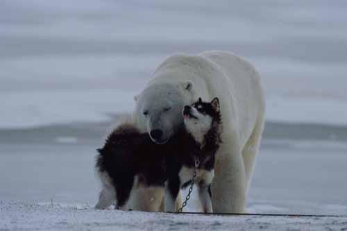 husky polar bear