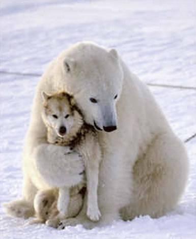husky playing with polar bear